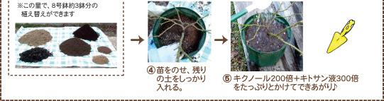 木紅木の土でバラの植え付け2