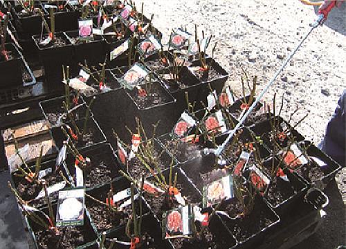 濃いキクノールを枝と土にたっぷりとかけています。